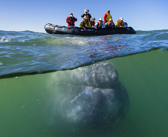 Wild Baja Escape: The Whales of Magdalena Bay
