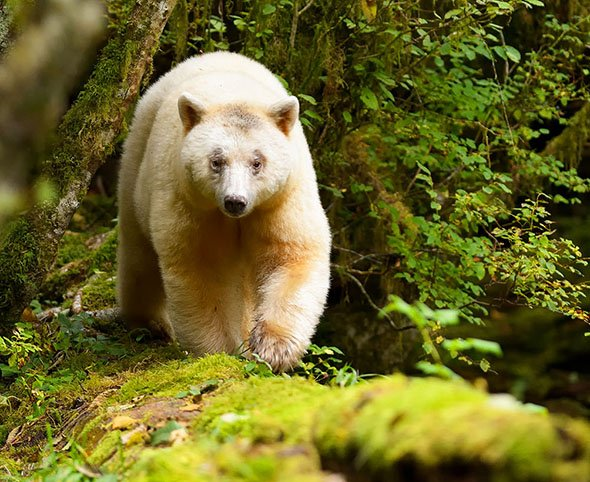 Voyage to Great Bear Rainforest: Native Culture & Wildlife in the Land of the Spirit Bear